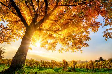 Wall Mural - Schöner Baum auf Weingarten im Herbst, mit Sonne und blauem Himmel