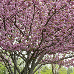 Cherry tree in blossom, Liberty Island, Manhattan