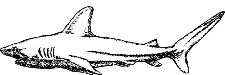 Shark Hand drawn vectors freehand sketching