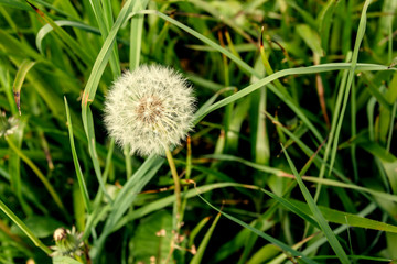 White dandelions on green background
