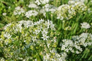 White flowers of the garlic chive nira herb