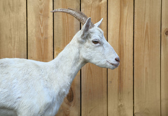Goat home. Shooting outdoors, farm animals.wooden background.