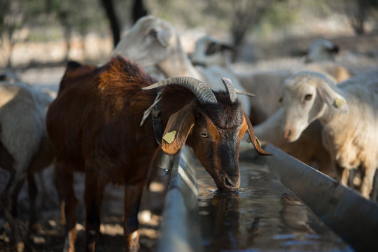 Goat Drinking at Water Trough