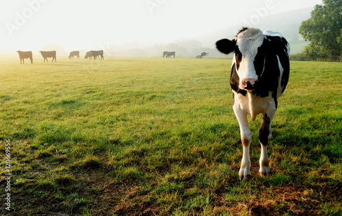 Fototapete Herd of cows grazing on a farmland in Devon, England