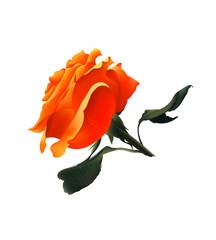 Orange Rose. Vector Realistic Illustration. Isolated on White