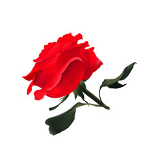Red Rose. Vector Realistic Illustration. Isolated on White