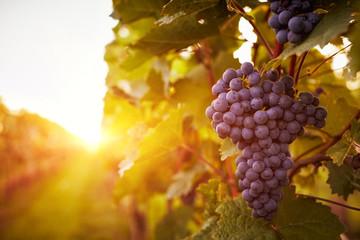 Fototapeta Vineyards in autumn harvest