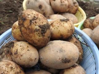 農家の畑でとれた新鮮なジャガイモです。油で揚げてアツアツのポテトも美味しいです。