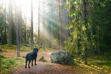 Black Dog in Sunbeamed Forest at Morning