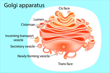 Golgi apparatus. Diagram.  Vector