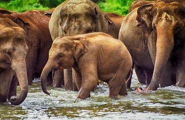 Elephants, Pinnewala, Sri Lanka
