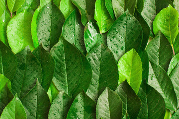 Fresh wet green foliage with dew background. Tree summer leaves texture, vertical lines composition