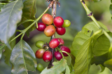 Colombia, Caldes, Manizales, Chinchina, Coffee plantation at Hacienda de Guayabal, Coffee cherries or coffee berries