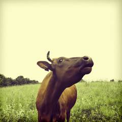 Brown cow on a meadow. To a photo color toning is applied
