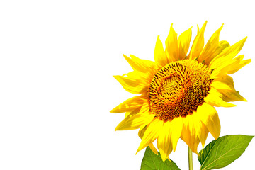 colorful sunflower isolated on a white background