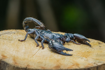 Closeup view of a scorpion on wood in nature.