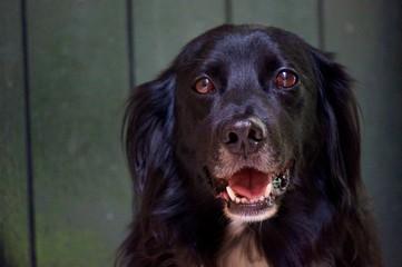 Smiling Brittany Spaniel Dog