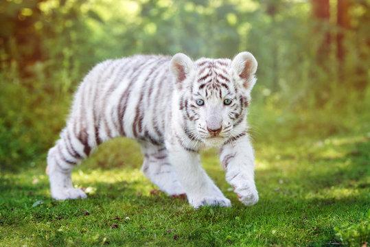 white tiger cub walking outdoors