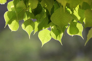 sunlit leaves on blurred background