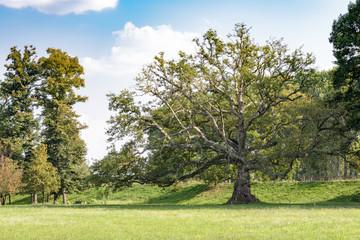 Ancient plane tree
