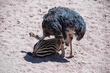 Ostrich helping zebra to clean. Bio Park in Valencia, Spain.