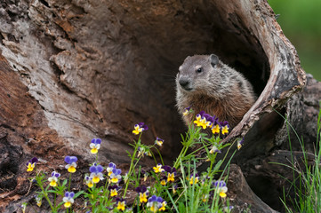 Wall Mural - Young Woodchuck (Marmota monax) Looks Out from Inside Log