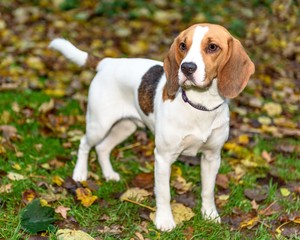 Beautiful, Brown And White Beagle Dog Puppy