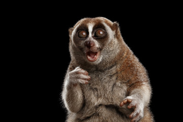 Close-up Lemur Slow Loris Isolated Black background