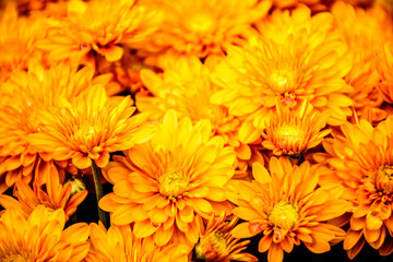 yellow chrysanthemum in autumn
