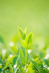 鹿児島の茶畑