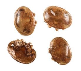 Varroa destructor - bee parasite - microscope photo