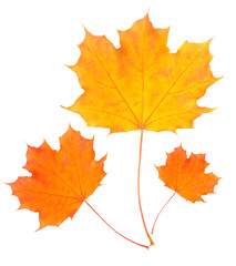 Isolated on white background Autumn yellow maple leaf