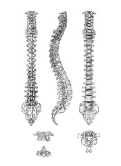 Hand drawn medical illustration drawing with imitation of lithography: Spine (4 angles) and vertebrae