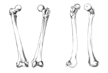 Hand drawn medical illustration drawing with imitation of lithography: Bones of legs (femur)