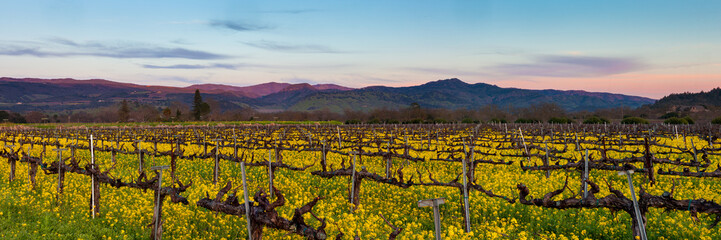 Poster Vineyard Napa Valley wine country panorama at sunset in winter. Napa California vineyard with mustard and bare vines. Purple mountains at dusk with wispy clouds.