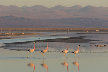 Flamingos at Sunset in Atacama Salar, Chile / Four flamingos in a row walking in a salt lake at Sunset in Atacama Salar, Chile