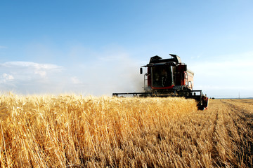 wheat harvest harvester in action