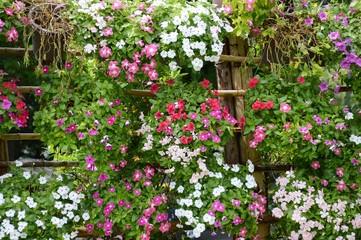 Catharanthus roseus flower in nature garden