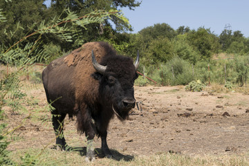 Male American Bison or Buffalo walking toward the camera