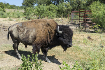 Side view of American Buffalo or Bison on Farm Pasture