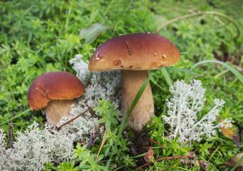 Two mushroom boletus on the moss in september