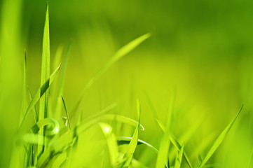 closeup fresh green grass. natural spring or summer background