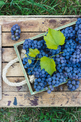 Full tray of blue ripe grape bunches