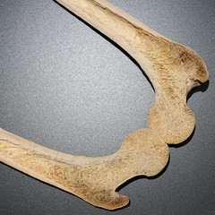Human bone cutaway