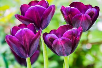 Тюльпаны.  Тюльпаны в ботаническом саду Владивостока.