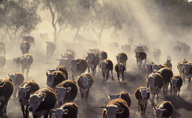 Cattle in drought conditions. Wall mural