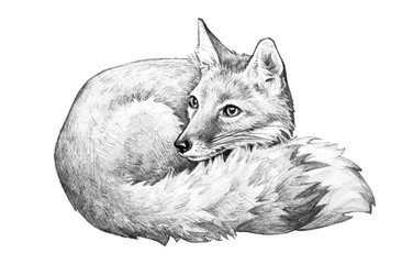Fox illustration, cute fox is hand drawn pencil sketch