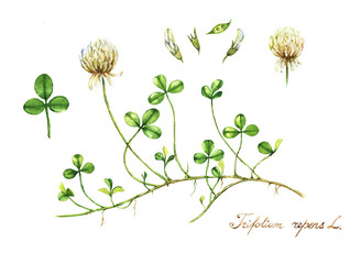 Hand-drawn watercolor botanical drawing of the meadow clover. Botanical illustration. Trefoil illustration isolated on the white background. Blossom, herbarium plant. Accurate botanical illustration