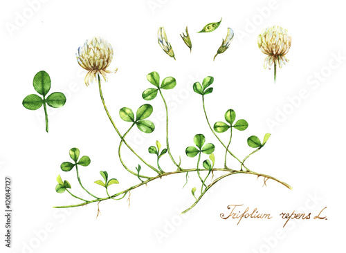 hand drawn watercolor botanical drawing of the meadow clover botanical illustration trefoil illustration
