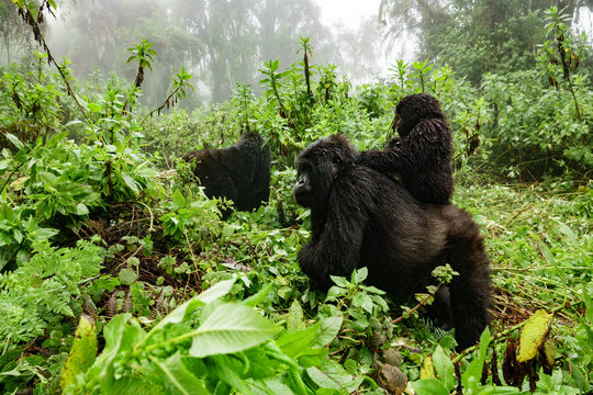 Female mountain gorilla with baby on top